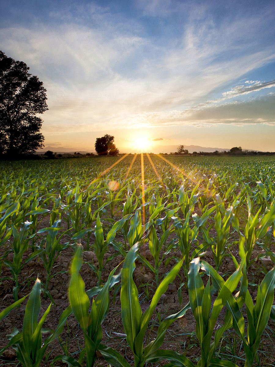 Maize is transformed into biogas
